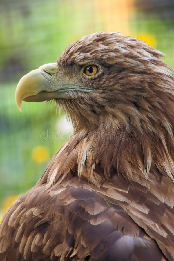 Close up eagle portrait stock images