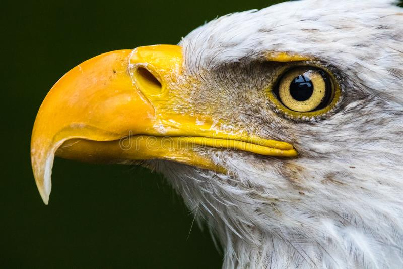 Close up Eagle Profile calvo imagens de stock royalty free