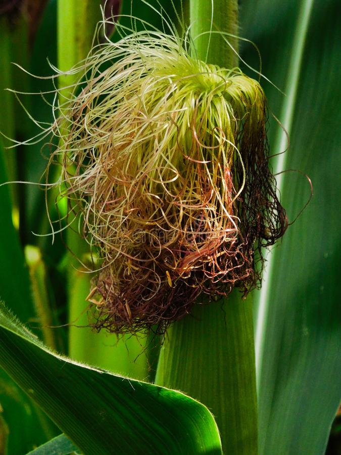 Close up of an ear of corn royalty free stock photography