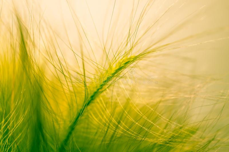 Close-up ears of foxtail barley. Hordeum jubatum. Spectacular background. Toned photo, soft focus.  stock photography