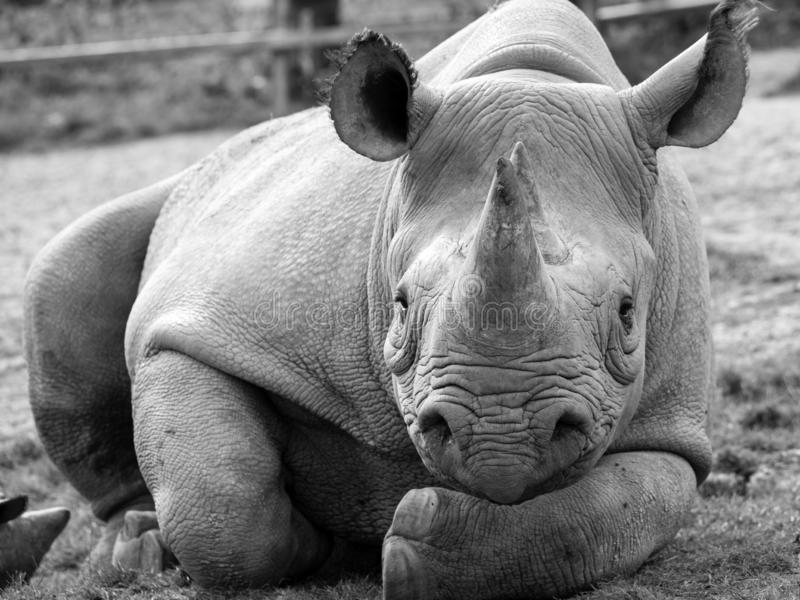 Black rhinoceros looking straight to camera. Photographed in monochrome at Port Lympne Safari Park near Ashford Kent UK. Close up of East African black stock images