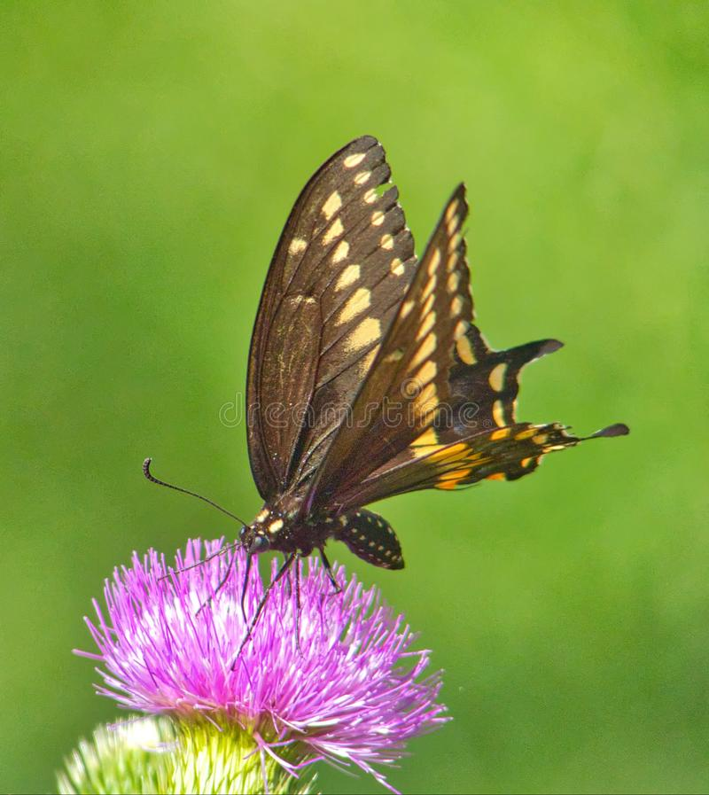 Eastern Black Swallowtail Butterfly On Thistle royalty free stock images