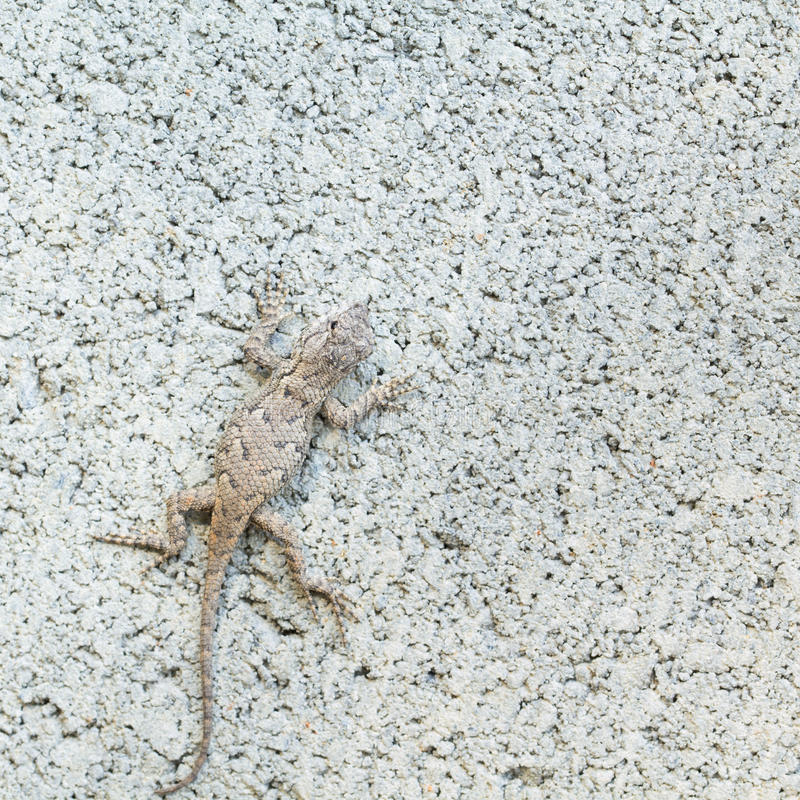 Close up of Eastern Fence Lizard in NC. Eastern fence lizard well camouflaged on cinder block. Sceloporus undulatus found in NC. It is a type of Squamata, or stock images