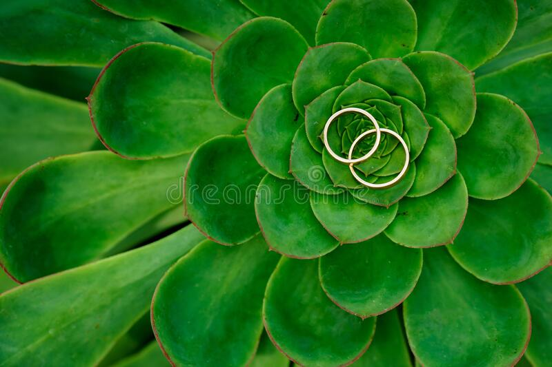 Close up of Echeveria Lilacina and Wedding Rings stock photography