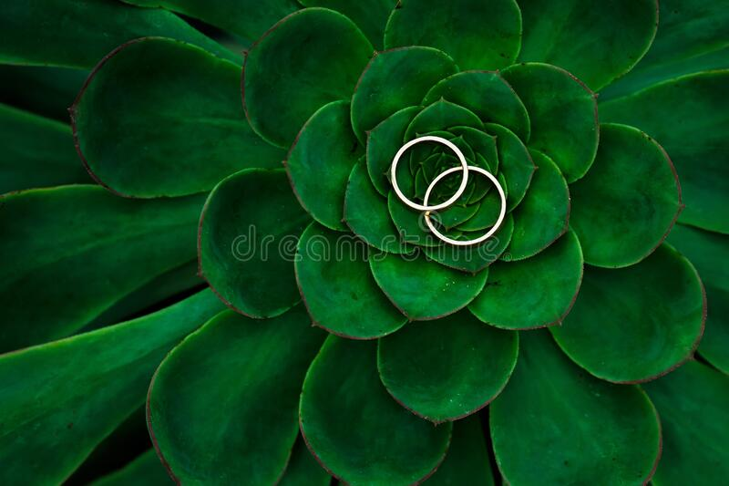Close up of Echeveria Lilacina and Wedding Rings royalty free stock photography