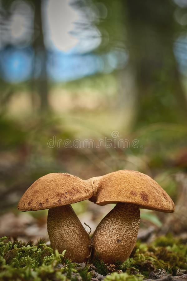 Close up of edible rough-stemmed bolete mushroom Leccinum scabrum on the forest royalty free stock photo