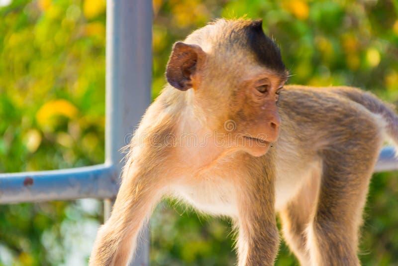 Close-up een aap bij de Sammuk-berg royalty-vrije stock afbeelding