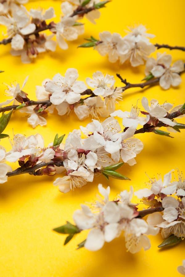 Close-up, een bloeiende tak van abrikoos stock foto