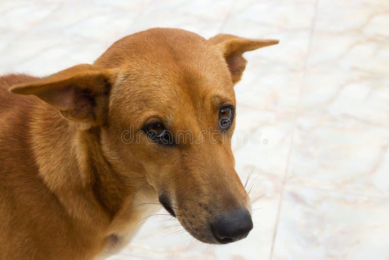 Close-up een bruine hond stock afbeelding
