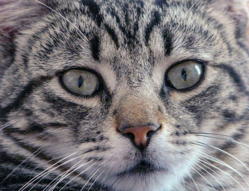 Close-up een gestreepte katkat royalty-vrije stock fotografie