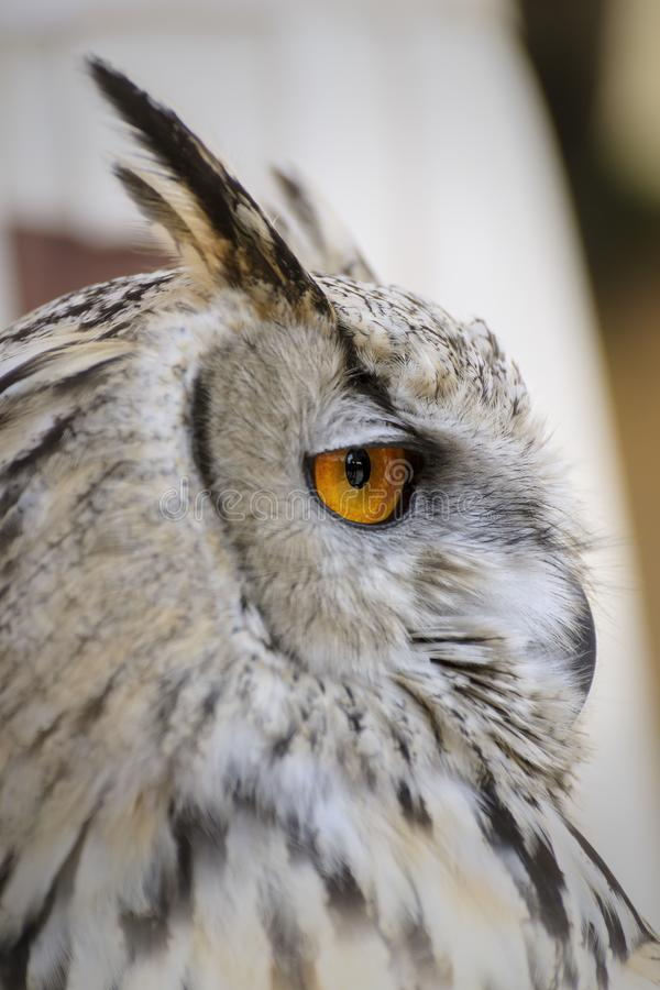 Close up of an elegant white owl royalty free stock photography