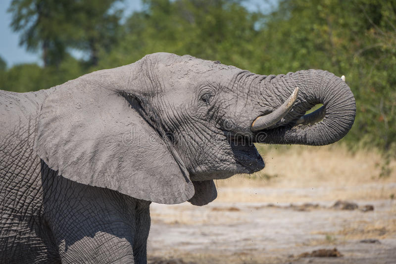 Close-up of elephant drinking with trunk raised stock image