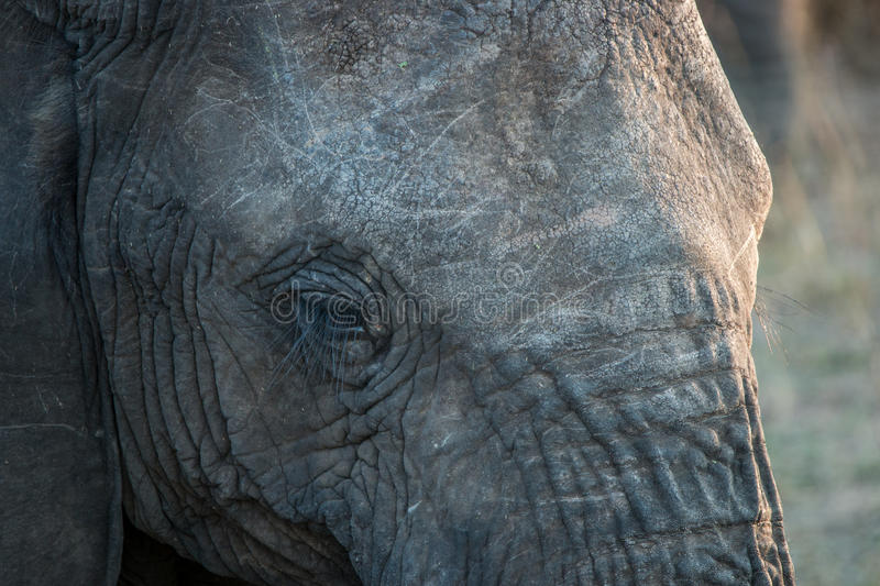 Close up of an Elephant eye in the Kruger National Park. Close up of an Elephant eye in the Kruger National Park, South Africa royalty free stock photography