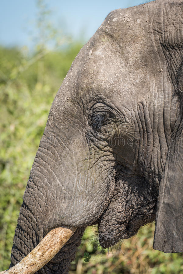 Close-up of elephant head with green bushes stock photos