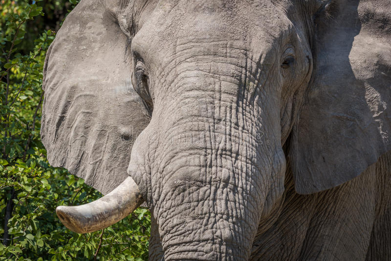 Close-up of elephant head with tusk missing stock photo