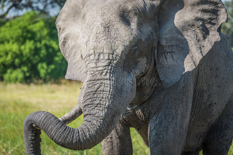 Close-up of elephant resting trunk on tusk stock photography