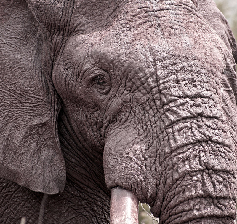 Close-up Of An Elephant S Head Royalty Free Stock Image