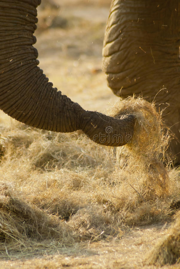 Close-up Of An Elephant S Trunk Royalty Free Stock Photo