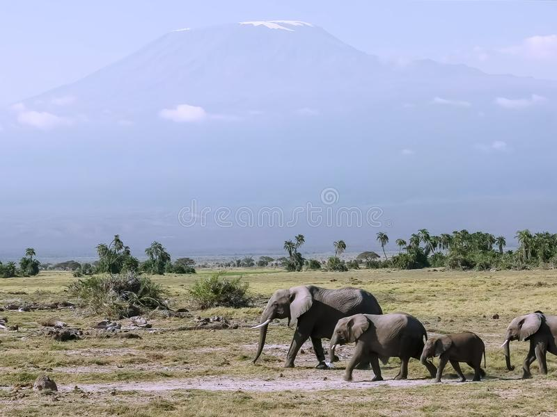 Close up of elephants and mt kilimanjaro at amboseli in kenya. Close up of an elephant family walking, with mt kilimanjaro in the background, at amboseli stock images