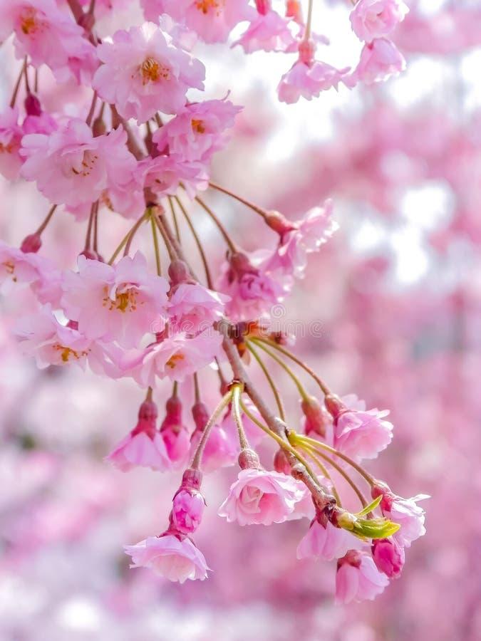 Close-up em flores cor-de-rosa japonesas das flores de cerejeira de Sakura foto de stock royalty free