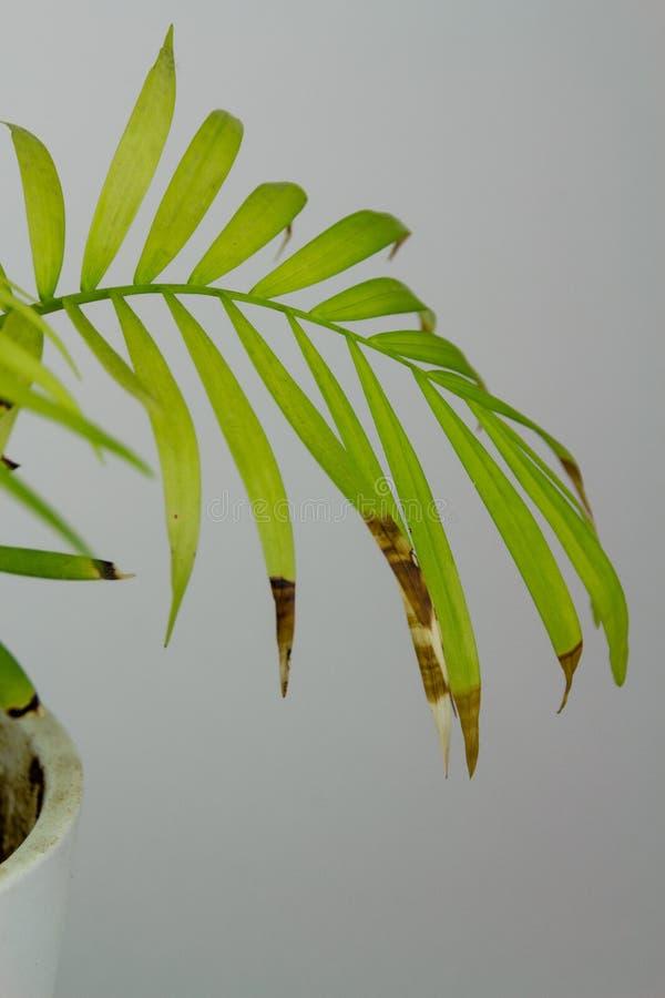 Close up em folha de palmeira da areca doente foto de stock