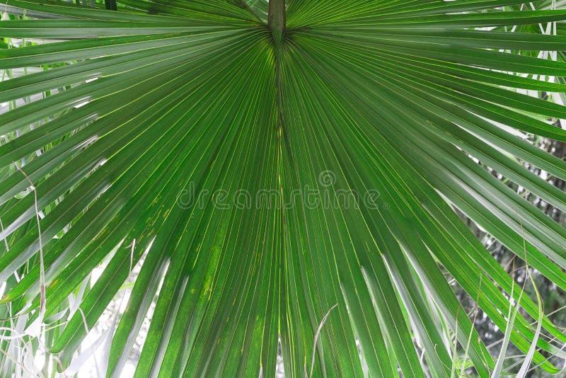 Close-up em folha de palmeira verde Natureza tropical, conceito do curso fotografia de stock royalty free