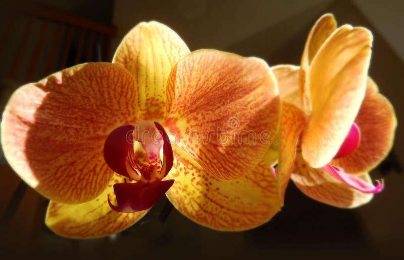 Close up em orquídeas alaranjadas imagem de stock