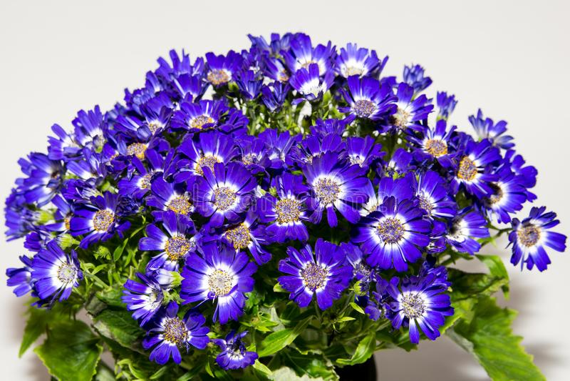 Close-up em pasta das flores Pétalas da flor roxa e branca Isolado fotos de stock royalty free