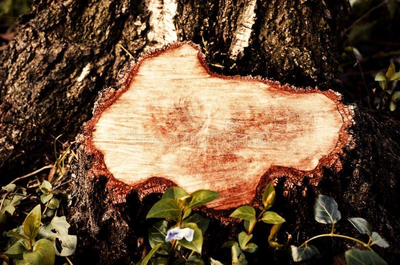 Close-up em um coto de uma árvore abatida Coto após a remoção da represa imagem de stock