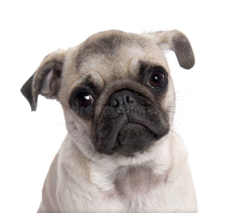 Close-up em um filhote de cachorro do pug (5 meses velho) foto de stock