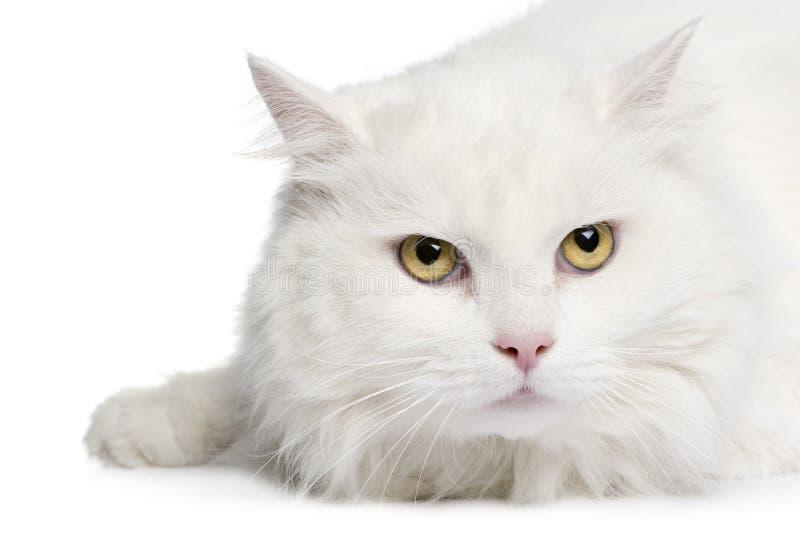 Close-up em um gato branco do angora (5 anos) imagens de stock