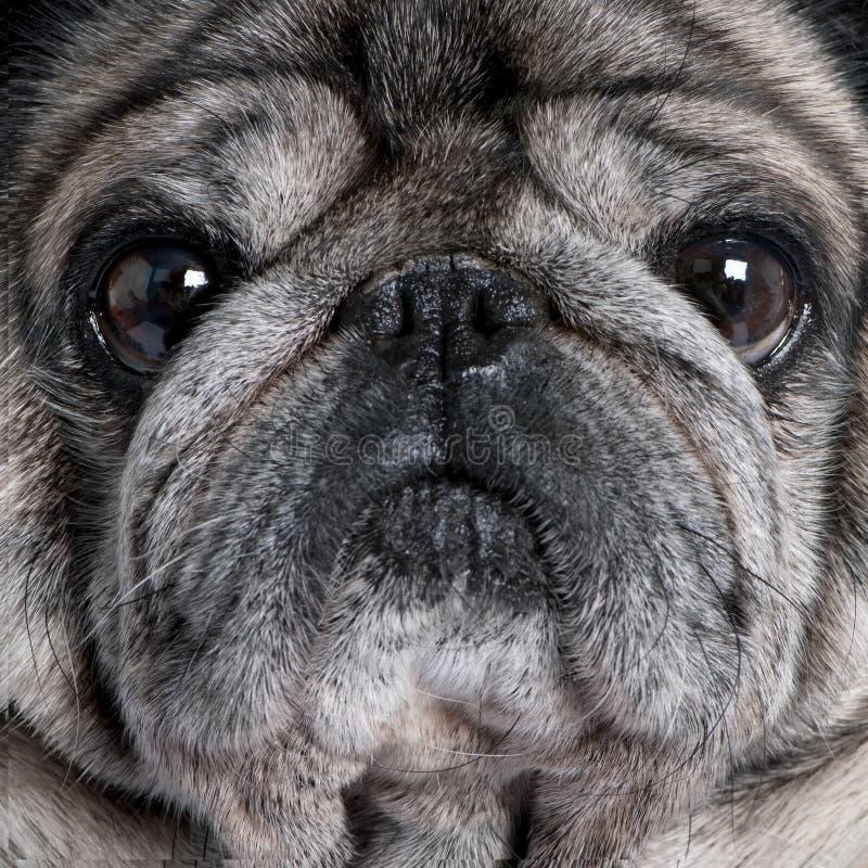 Close-up em um pug (8 anos) imagem de stock