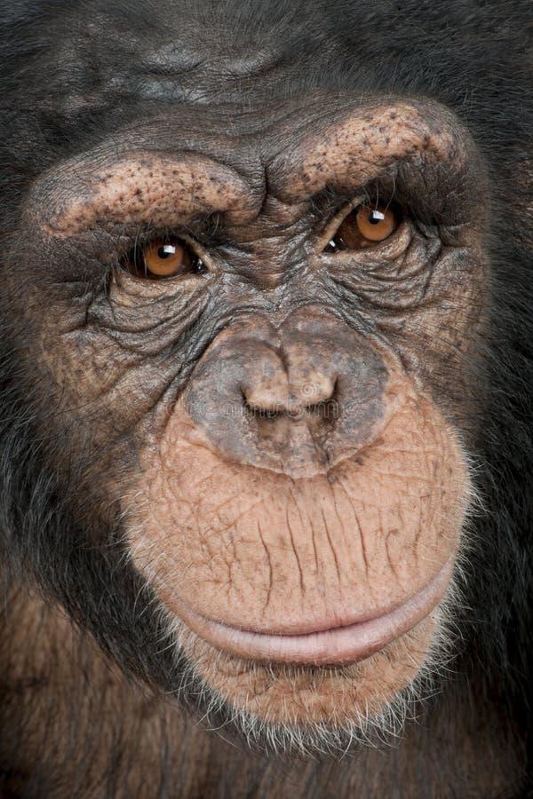 Close-up em uma cabeça de um chimpanzé novo - Simia t fotos de stock royalty free