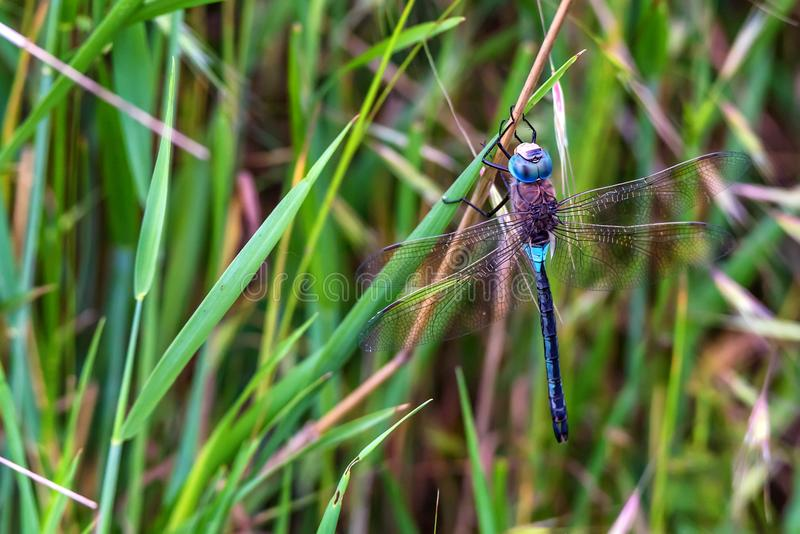 Emperor Dragonfly or Anax imperator on grass stock photo