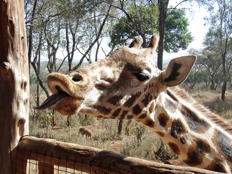 Close-up encounter with a giraffe royalty free stock photography