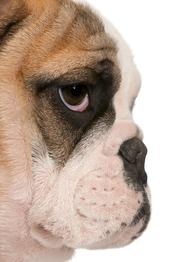 Close-up of English bulldog puppy, 4 months old stock image