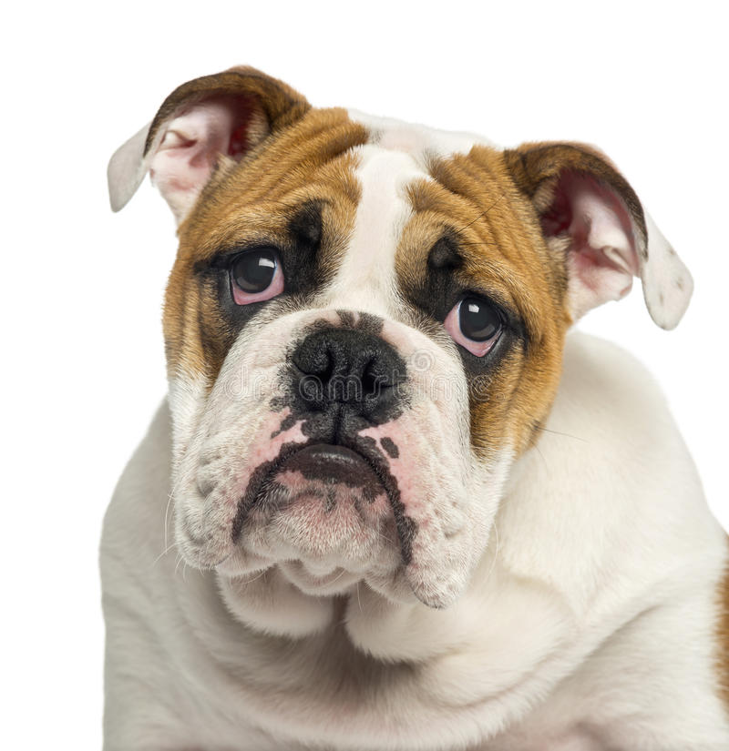 Close-up of an English Bulldog puppy looking desperate, 4 months old stock image