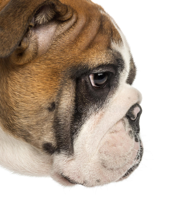 Close-up of an English Bulldog puppy profile, 3,5 months old royalty free stock photography