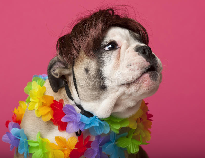 Download Close-up Of English Bulldog Puppy Wearing A Wig Stock Photo - Image: 21400258