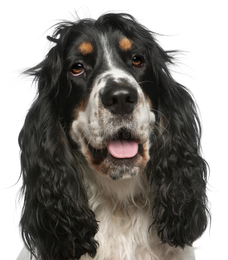Close-up of English Cocker Spaniel, 6 years old