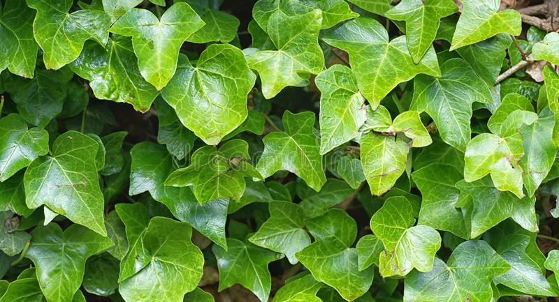 Close up of English Ivy, Hedera helix. Background. Close up photo of the lush green leaves of English Ivy Hedera helix stock photo
