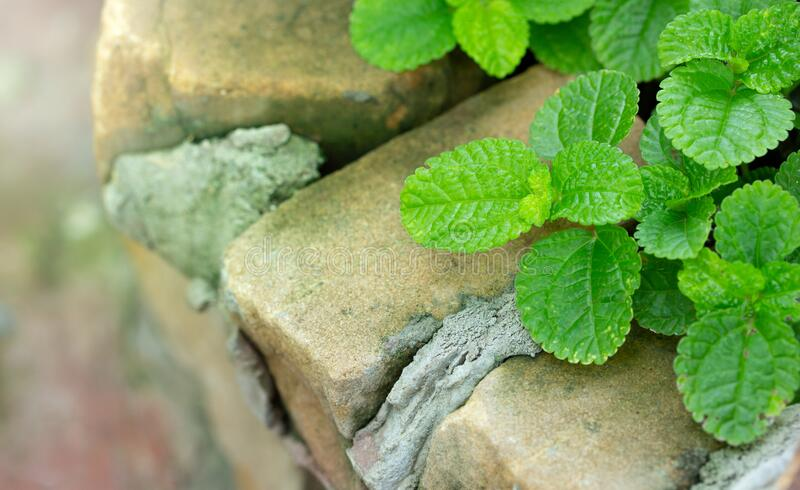 Close-up of Episcia Plant with Green Leaf royalty free stock photo