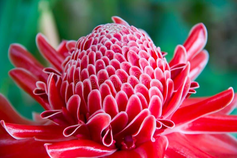 Close up etlingera elatior flower color red in nature stock image