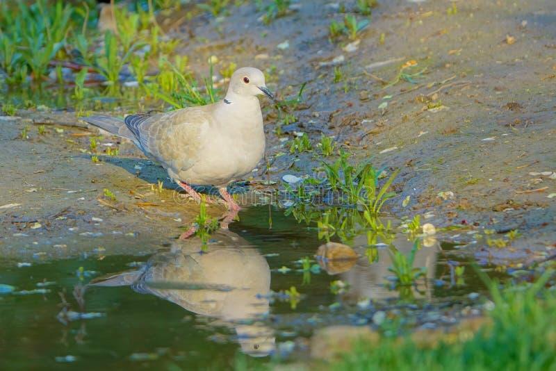 Eurasian Collared Dove stock image