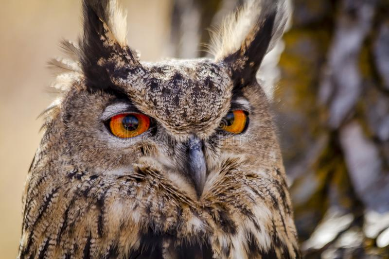 Eurasian Eagle Owl on tree branch. Close up of Eurasian Eagle Owl head sitting on tree branch stock photography