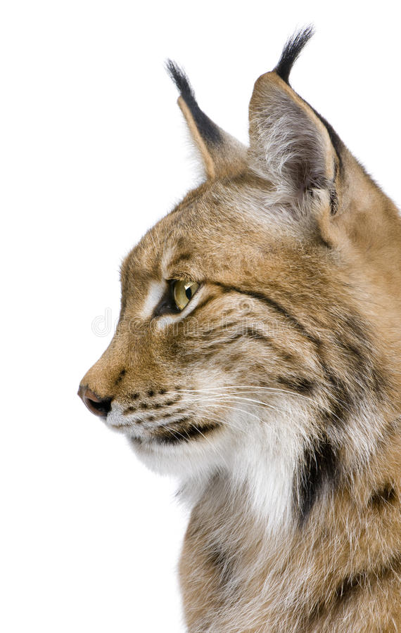 Download Close-up Of A Eurasian Lynx's Head Stock Photo - Image: 9537360