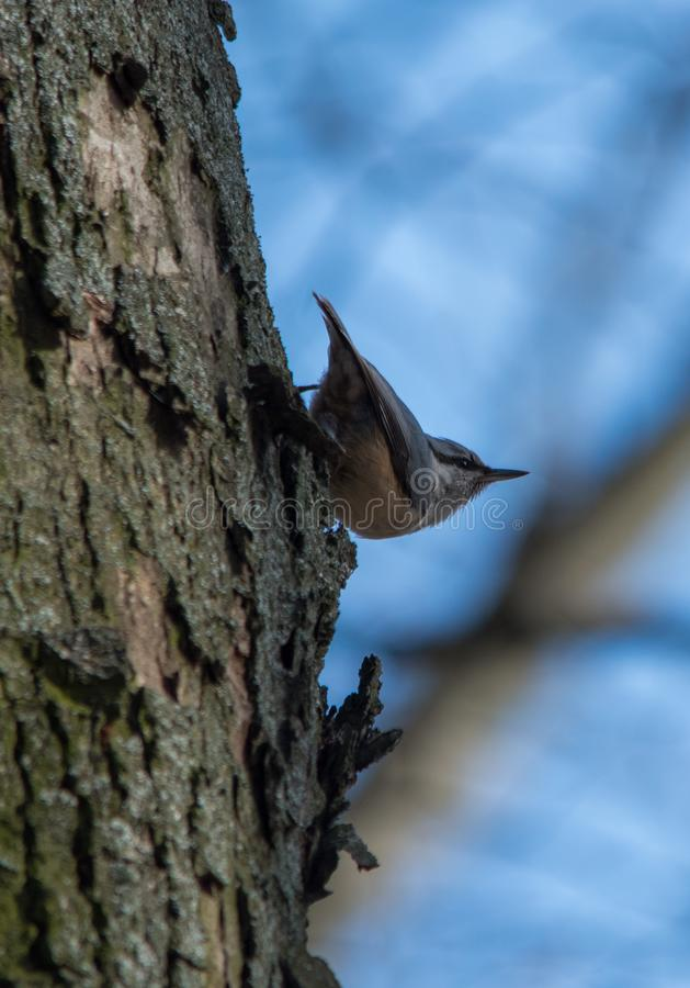 Close up of eurasian nuthatch, wood nuthatch (Sitta europaea) on a tree trunk. Eurasian nuthatch, wood nuthatch (Sitta europaea) on the tree trunk, close up stock images
