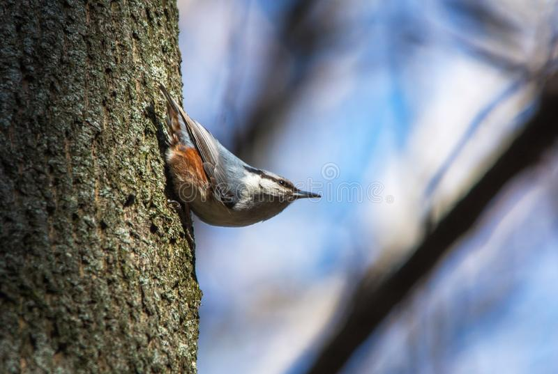 Close up of eurasian nuthatch, wood nuthatch (Sitta europaea) on tree trunk. Extreme close up of eurasian nuthatch, wood nuthatch (Sitta europaea) on tree trunk stock photos