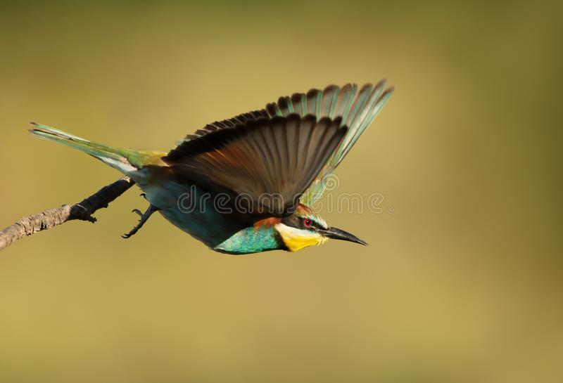 Close up of a European Bee-eater in flight stock photography
