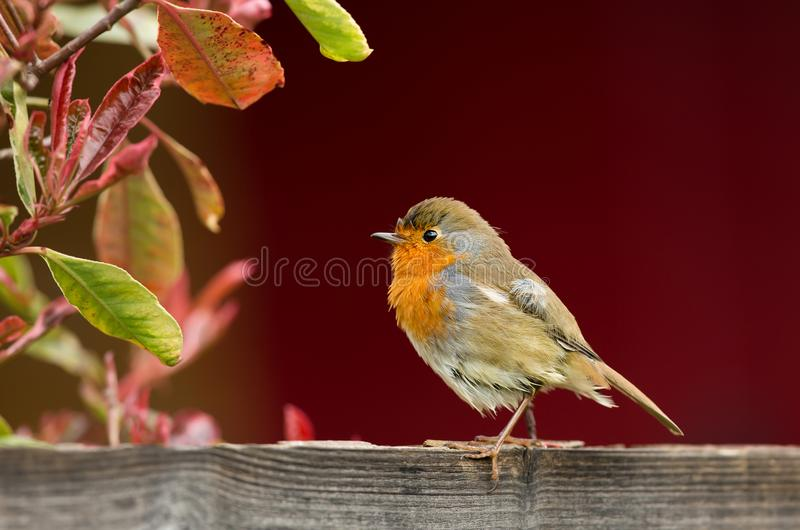 European Robin perching on a garden fence royalty free stock photos